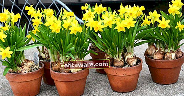 Tumbuh dan Perawatan Rumah Bunga Daffodil Menginformasikan Musim Semi Mendekati