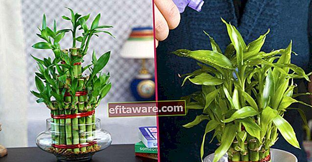 Non crederai a quanto velocemente cresce: coltivazione domestica passo dopo passo e cura del bambù