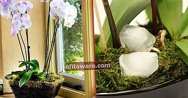 Non piegare il collo: cura dell'orchidea dall'irrigazione al cambio delle pentole