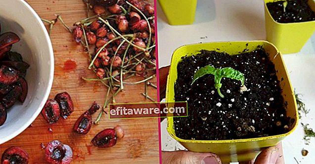 몇 가지 쉬운 단계로 가능합니다 : 체리 씨앗을 발아시키는 가장 빠르고 실용적인 방법