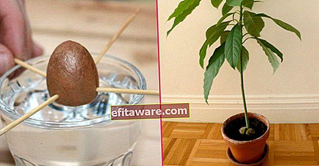 Porta sapore in vaso: come coltivare una pianta di avocado a casa in 5 semplici passaggi?