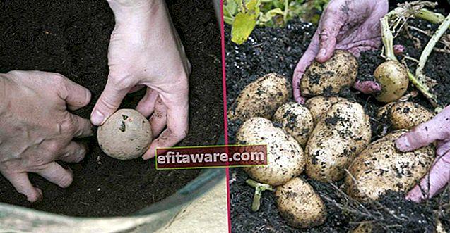 Prepara i sacchi, iniziamo: come coltivare le patate a casa in 7 semplici passaggi