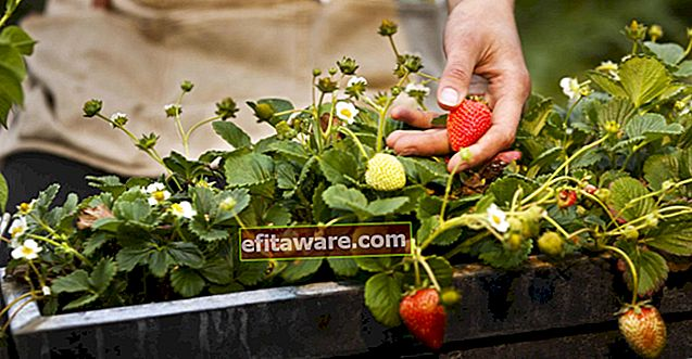 Lascia che gli odori fragranti immergano la tua casa: come coltivare le fragole in vaso?
