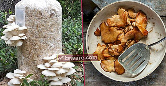 Puoi coltivare funghi ostrica anche nella tua cucina: come coltivare funghi ostrica?