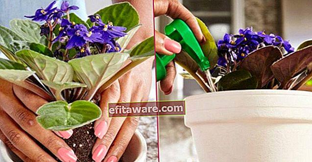 Menjaga Bunga Tidak Pernah Tumpah: Perawatan Violet Dari Irigasi hingga Reproduksi