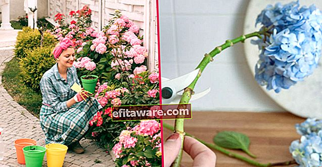 Bawa Warna ke Salon Anda: Perawatan Hydrangea Langkah demi Langkah di Rumah, dari Pemangkasan hingga Reproduksi
