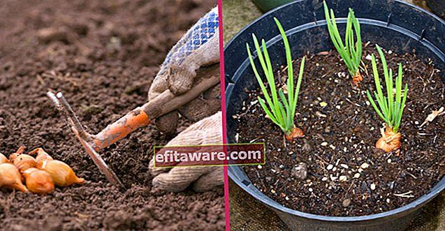 Immer zur Hand haben: Wie man zu Hause Schritt für Schritt Frühlingszwiebeln züchtet?